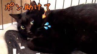 保護した黒猫と再会!外した首輪を着けるのも一苦労です