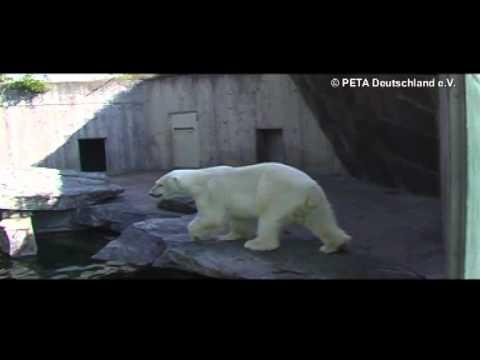 Eisbär-Stereotypie in der Wilhelma Stuttgart / PETA