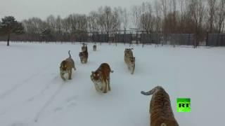 لقطات مذهلة لنمور سيبيرية تصطاد طائرة من دون طيار