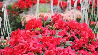 Kỹ thuật trồng và chăm sóc hoa đỗ quyên mùa Tết
