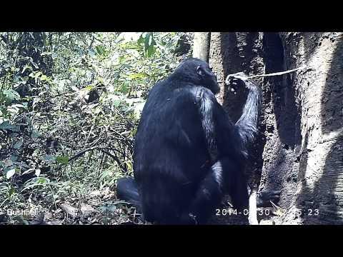 Cameroon-Nigeria chimpanzee