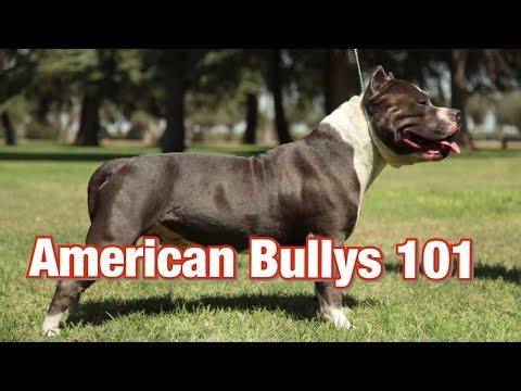 American Bully History 101