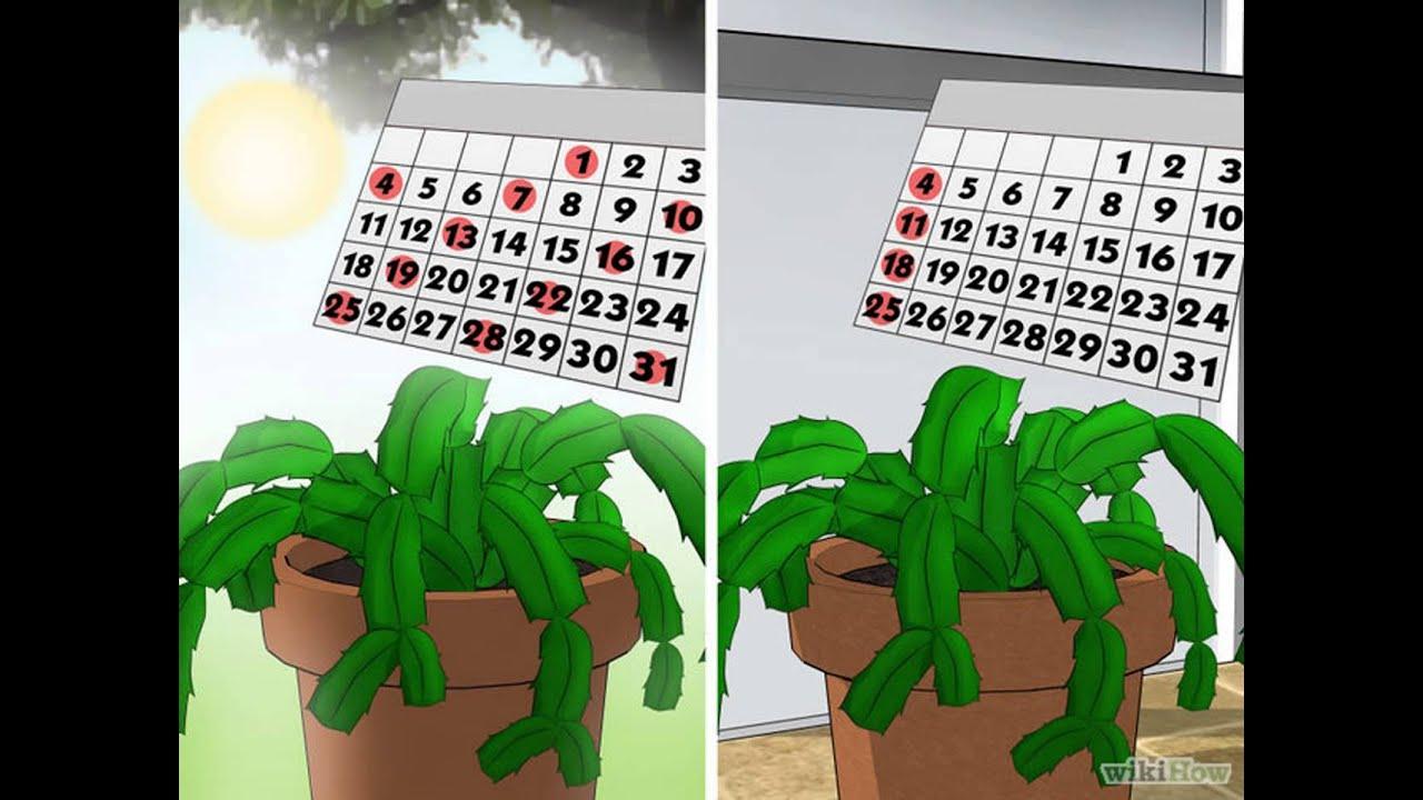 C mo cuidar un cactus navide o youtube for Cactus navideno