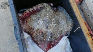 Рыбалка на Чёрном море, скат морская лисица, ставрида, мотской карась, ядовитая рыба дракон