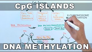 CpG Islands and DNA Methylation