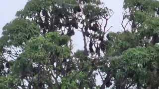 澳洲黑狐蝠休息與飛翔Black Flying fox- 澳洲凱恩斯-2014111