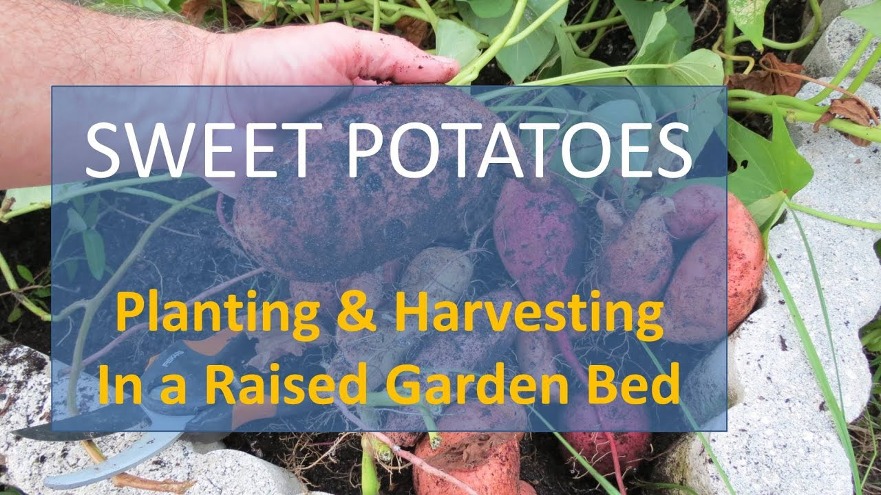 Sweet Potatoes In Florida Planting And