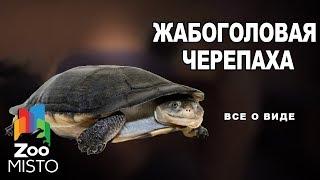 Жабоголовая черепаха - Все о виде пресмыкающихся | Вид пресмыкающихся - Жабоголовая черепаха