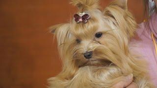 Русская салонная собака. Выставка маленьких собак на «Йорк-Шоу»