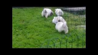 Shih Tzu X Bichon Pups