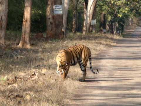 Tiger Live Wallpaper Hd Tiger Tadoba National Park Youtube