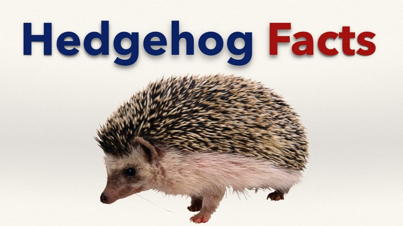 Hedgehog Facts for Kids - YouTube