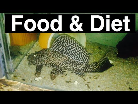 Best Food For Pleco Fish? Plecostomus Catfish
