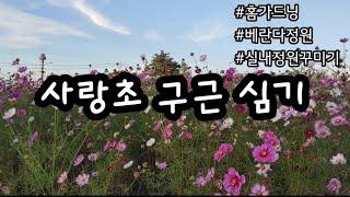 [홈가드닝] 사랑초 구근 심기