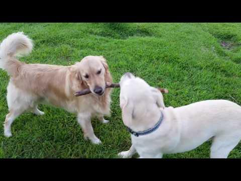 Funny Dogs Fighting Over A Stick - Yellow Lab Vs. Golden Retriever - Waimea, Kauai, Hawaii