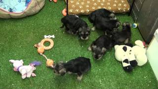 Little Rascals Uk Breeders New Litter Of 3/4 Schnauzer Boys And Girls - Puppies For Sale 2015