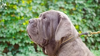 Mastino Napoletano And Other Dogs Wear Training Leather Choke Collar