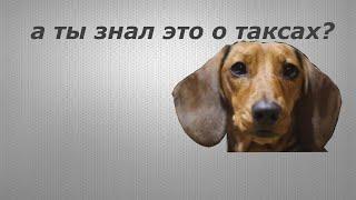 такса, порода собаки.