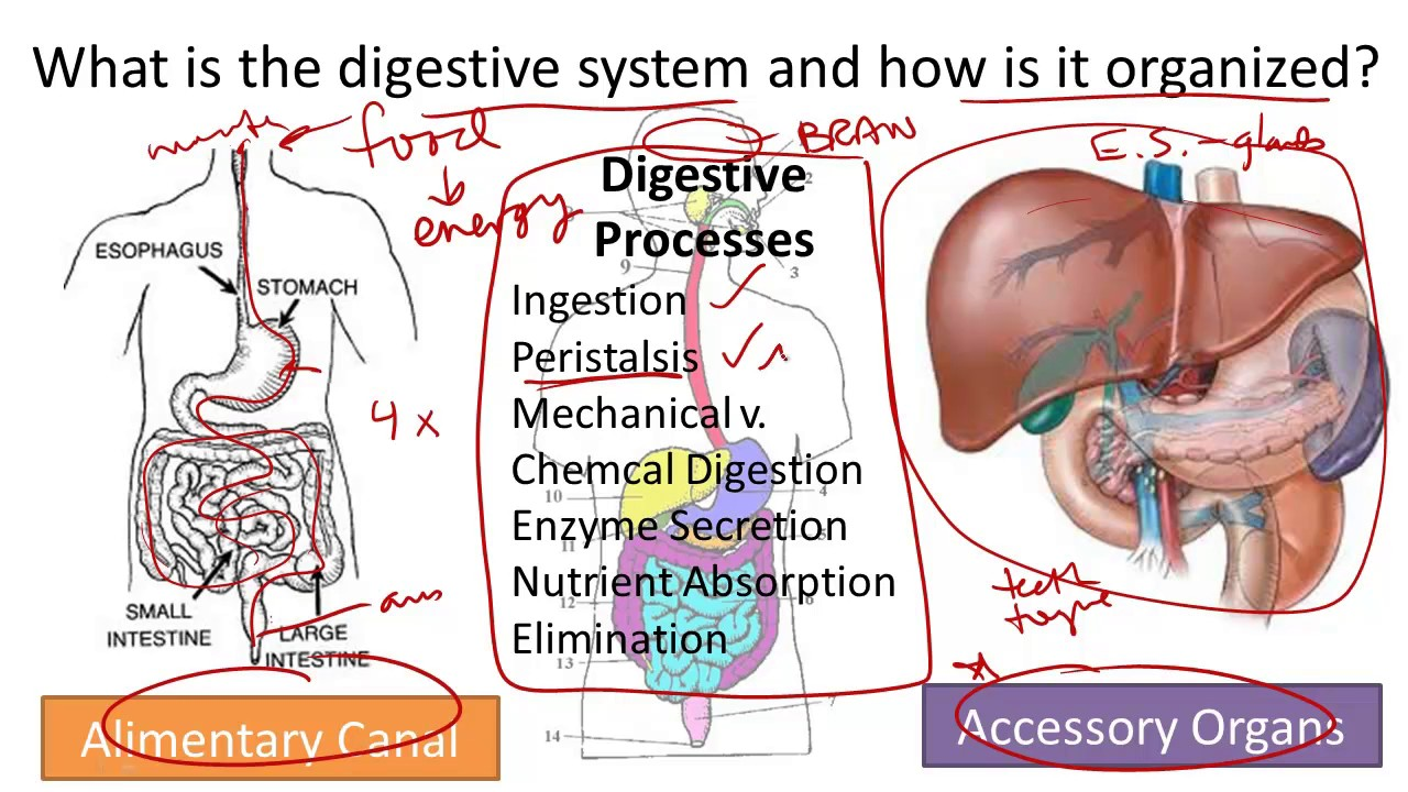 hight resolution of digestive system structure and function