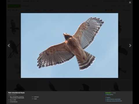 Red-shouldered Hawk Identification Examples
