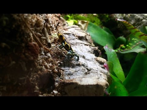 How To Feed Dart Frogs!!