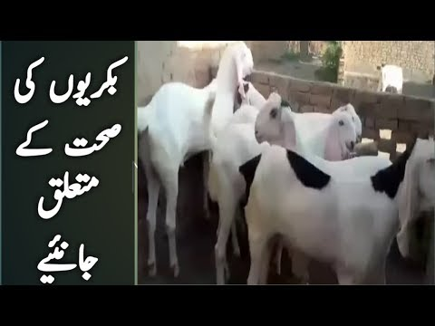 goat-farming- -goat-farming-business-in-pakistan- -goat-farm-benefits- -urdu-hindi