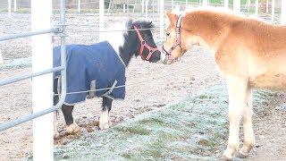 Zum 1.Mal sehen meine Pferde das gewonnene Fohlen! Wie reagieren sie?