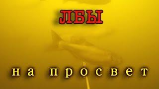 Подводная охота на крупного толстолобика на просвет Подводная охота весной в низовьях Волги