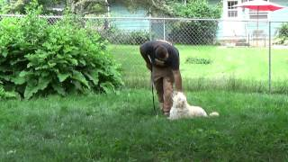 Thor The Goldendoodle Training With Suburban K9 In Madison Wisconsin
