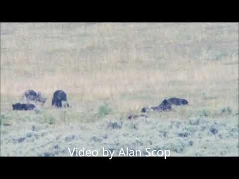Yellowstone wolves 1