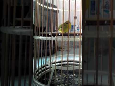 suara kicauan burung pleci betina keren
