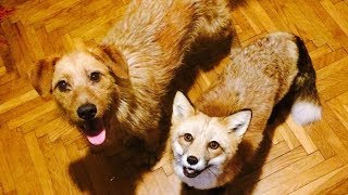 After Saving A Fox From A Fur Farm, A Woman Decided To Get Him A Friend So He Wouldn't Feel Lonely