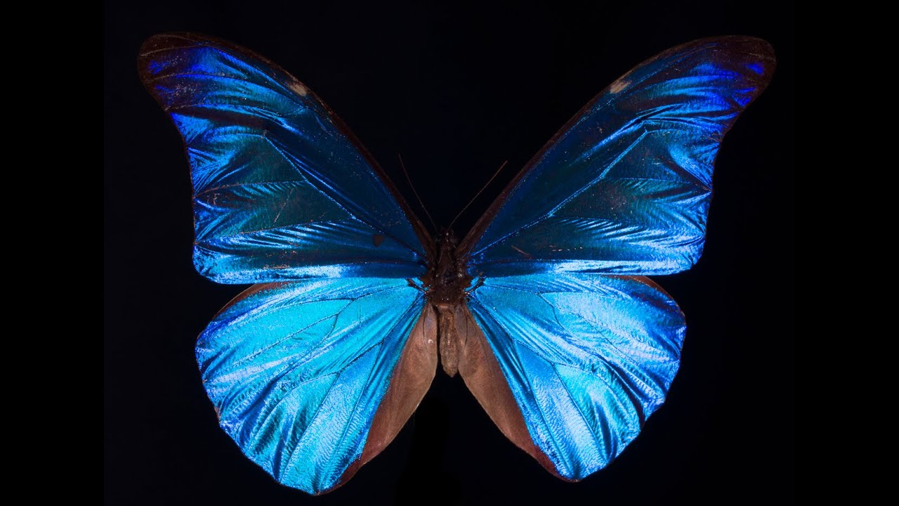 What gives the morpho butterfly its magnificent blue deep look what gives the morpho butterfly its magnificent blue deep look youtube izmirmasajfo