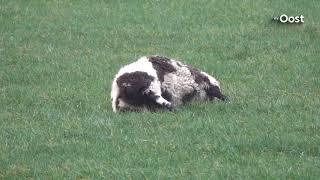 Weer wolf in het Vechtdal? Dode schapen in weiland Beerzerveld