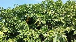 Lemon Ash Fly Mesa AZ  Warner's Tree Surgery 480 969 8808 11222017