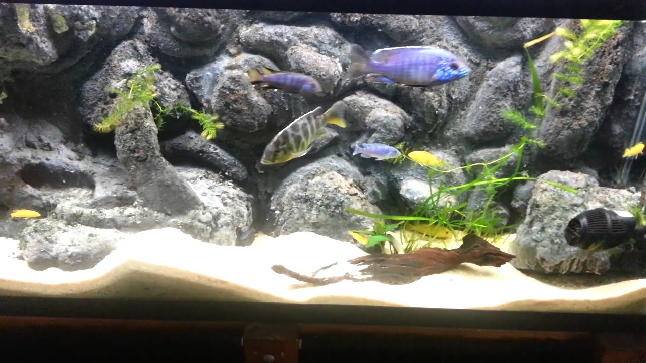New Stocking Plans for 55G African Cichlid Tank - YouTube