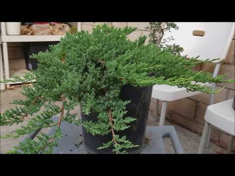 How To Make Bonsai Out Of Nursery Stock For Under 30 Juniper