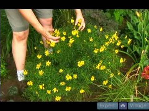 How To Grow And Care For Perennial Plants : How To Grow Coreopsis   YouTube