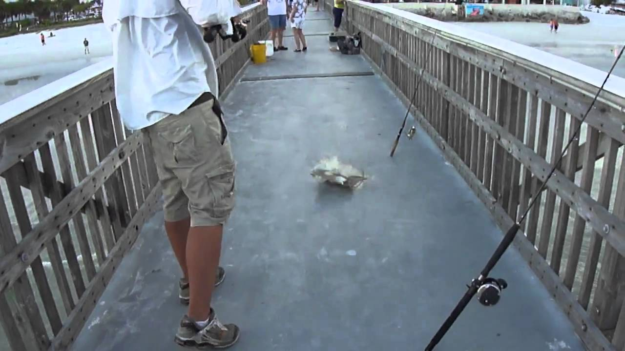 Catching A Cownose Ray Off The Pier In Fort Myers Beach Fl
