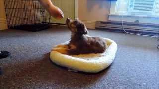 Bordoodle Puppy Training