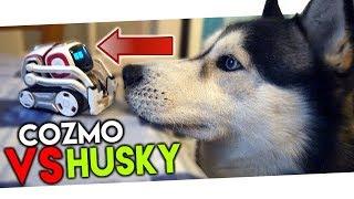HUSKY VS COZMO : RÉACTION DE MON CHIEN AU ROBOT TROP MIGNON