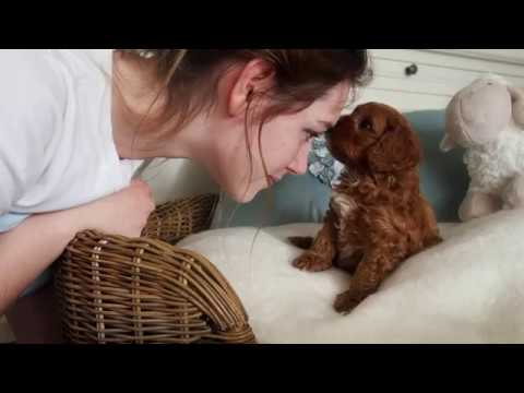 Tilly's Toy Cavoodle Boy C - Pocket Puppies 2017
