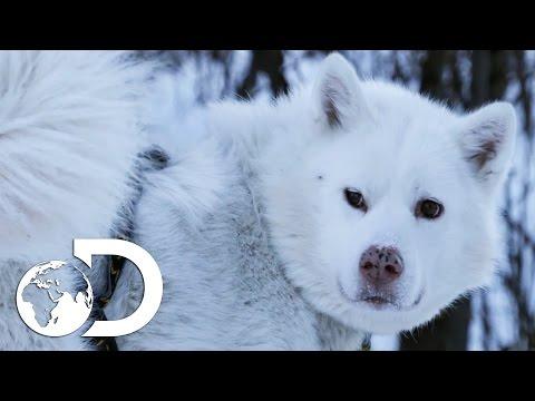 Training Husky Dog Puppies In Modern Alaska | The Last Alaskans