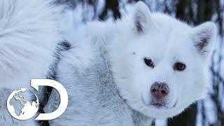 Training Husky Dog Puppies In Modern Alaska | The Last Alaskans