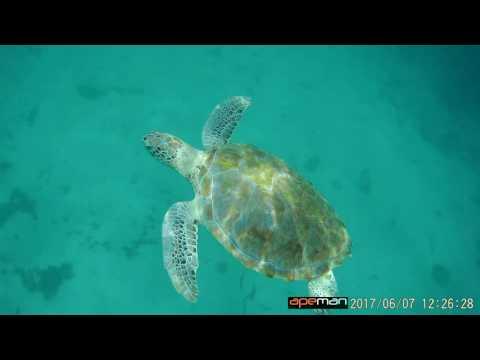 Sea turtles in Barbados
