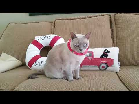 A Tribute to our Tonkinese Cat . . .