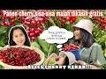 PANEN CHERRY SISA PETANI MALAH DIKASIH GRATIS || NIKMATNYA CHERRY GRATIS