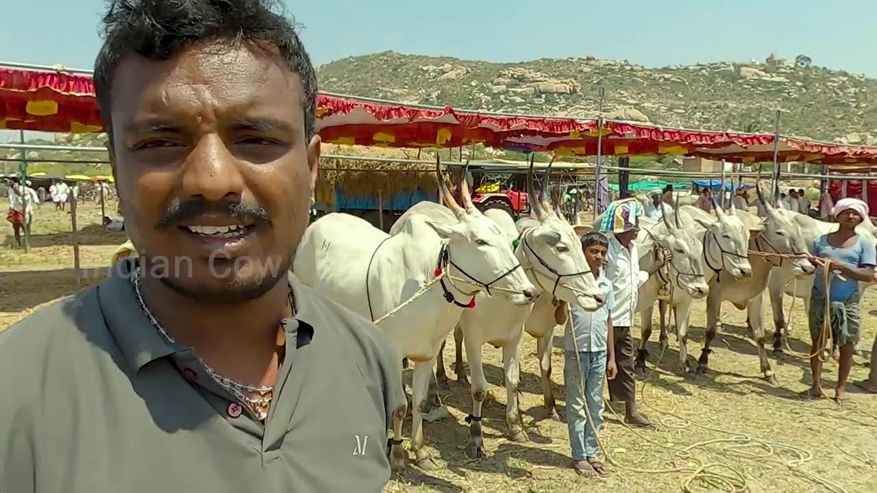 Babureddy Chintamani with 9 pairs of bullocks