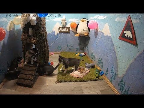 Стрим Хаски,  Хасята онлайн. Снежная пятерка, северное братство Сезон 2 Husky online husky puppies