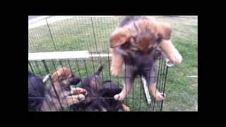 German Shepherd Puppies(akc) European Working Bloodlines For Sale!!!!